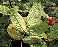 Rosa villosa leaf (07).jpg