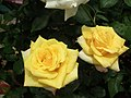 Rose from Lalbagh flower show Aug 2013 8547.JPG