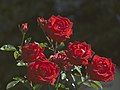 Roses in Wenceslas Square (4153912438).jpg