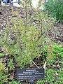 Rosmarinus officinalis.jpg