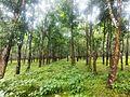 Rubber garden, pirgacha, Tangail.jpg