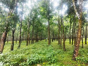 Tangail District - Rubber garden, pirgacha, Tangail