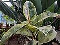 Rubber plant (Ficus elastica Roxb.).jpg