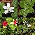 Rubus pedatus (Montage).jpg