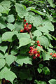 Rubus phoenicolasius 5449902.jpg