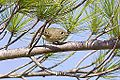 Ruby Crowned Kinglet (13912653455).jpg