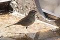 Rufous-crowned Sparrow Santa Rita Lodge Madera Canyon AZ 2018-02-17 16-00-23 (39872162114).jpg