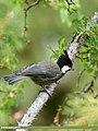 Rufous-naped Tit (Periparus rufonuchalis) (36333799265).jpg