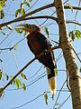 Rufous-necked hornbill 3.jpg