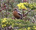 Rufous-tailed Plantcutter.jpg