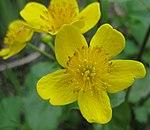 Ruhland, Grenzstr. 3, Sumpfdotterblume am Gartenteich, Blüte, Frühlung, 02.jpg