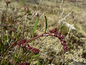 Common Sheep Sorrel