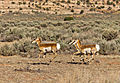 Running Pronghorn.jpg
