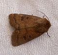 Rustic. Hoplodrina blanda (4773773919).jpg