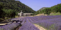 SENANQUE Lavende - panoramio.jpg
