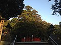 "Sacred tree ""Ayasugi"" in Kashii Shrine 20150223.JPG"