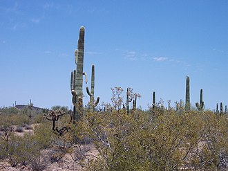 Organ Pipe Cactus National Monument - Image: Sagaro Cactii at Organ Pipe Cactus National Monument