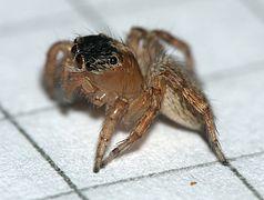 Saitis.barbipes.female.from.the.side.jpg