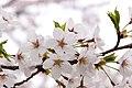 Sakura flower in Maniwa, Okayama Prefecture; April 2012 (05).jpg