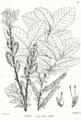 Salix caprea Bra60.png