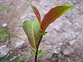 Salix silesiaca a5.jpg