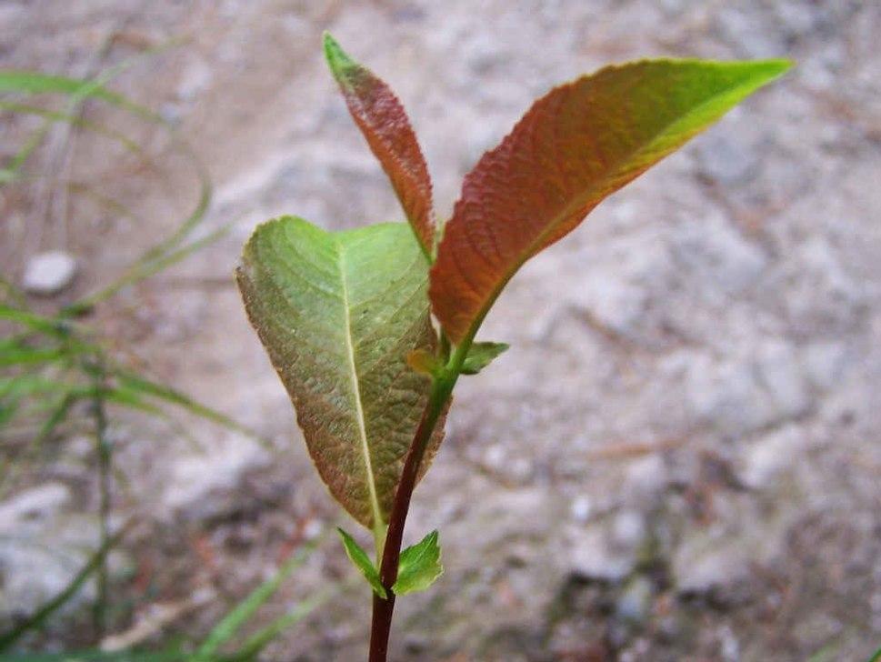 Salix silesiaca a5