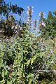 Salvia fruticosa kz3.jpg