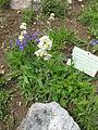 Saponaria bellidifolia 001.JPG