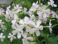 Saponaria officinalis1SHSU