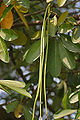 Saptaparni (Alstonia scholaris) leaves & fruit in Kolkata W IMG 3408.jpg