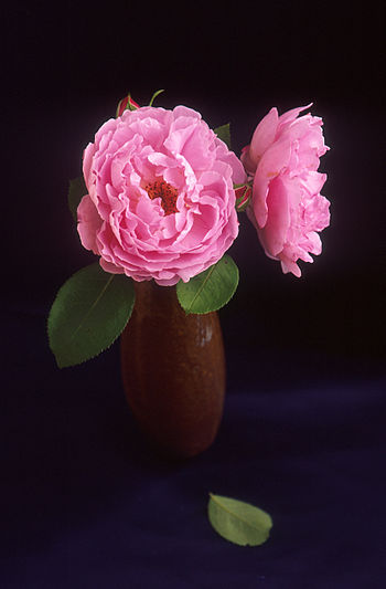 Sarah van Fleet rose