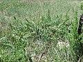 Sarcobatus vermiculatus (7509669690).jpg
