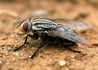 Flesh fly - Sarcophagid showing basally plumose arista