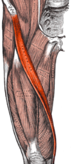 Sartorius muscle.png