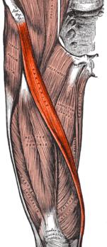 Портняжная мышца — Википедия
