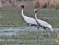 Sarus Crane (Grus antigone) at Sultanpur I Picture 151.jpg