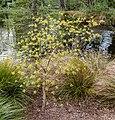 Sassafras albidum, Christchurch Botanic Gardens, Canterbury, New Zealand 14.jpg