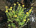 Saxifraga aizoides (Yellow Saxifrage) - Flickr - S. Rae.jpg