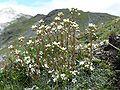 Saxifraga paniculata 070707.jpg