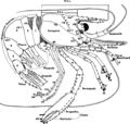 Schematic-drawing-of-a-generalized-stenopodidean-shrimp-in-lateral-view-ak-articular.png