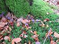 Schieder-Schwalenberg - 2014-09-11 - Violetter Lacktrichterling (Laccaria amethystea) (3).JPG