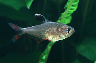 <i>Hyphessobrycon</i> genus of fishes