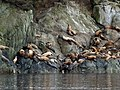 Sea Lions Haulout 2008 WC08.jpg