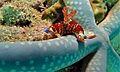 Sea Slug (Nembrotha lineolata) (6127698864).jpg