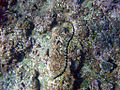 Sea Snake Niue 2.jpg