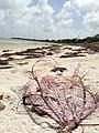 Sea Weed Remains - panoramio.jpg