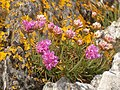Sea pinks at Craignish Point - geograph.org.uk - 161960.jpg
