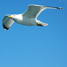 Seagull side view.jpg