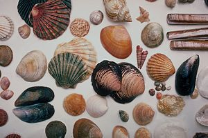 Hobby - Hobby: Collecting Seashells