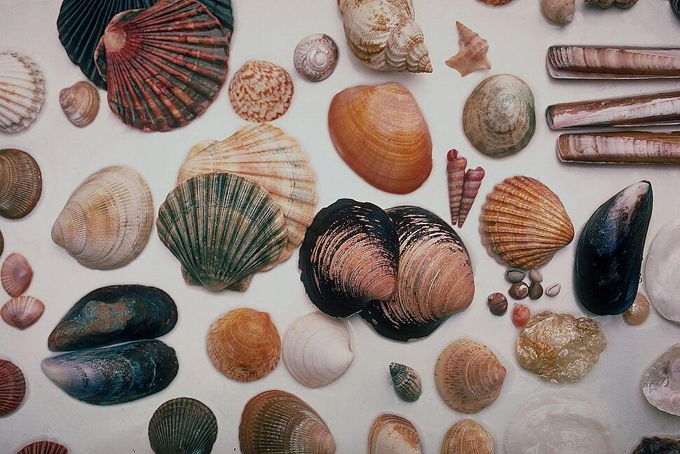 Seashells North Wales 1985